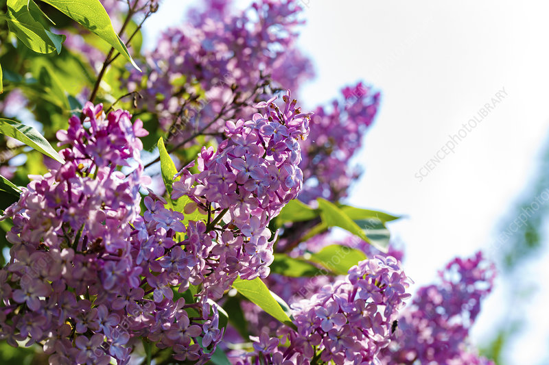 Blooming lilac (Syringa sp)