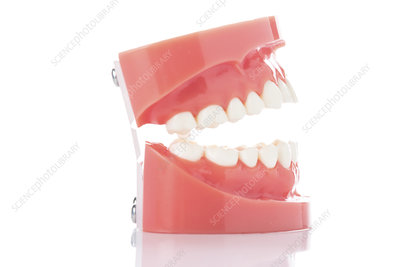 Dental model of teeth