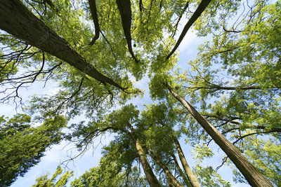Tree canopy, low angle view