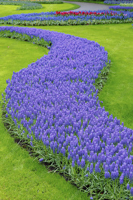 Flower bed of grape hyacinths (Muscari sp)
