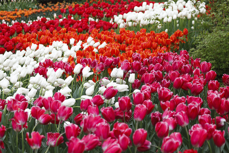 Flowerbed of tulips (Tulipa sp)