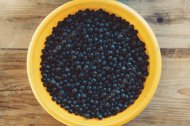 Harvested aronia berries