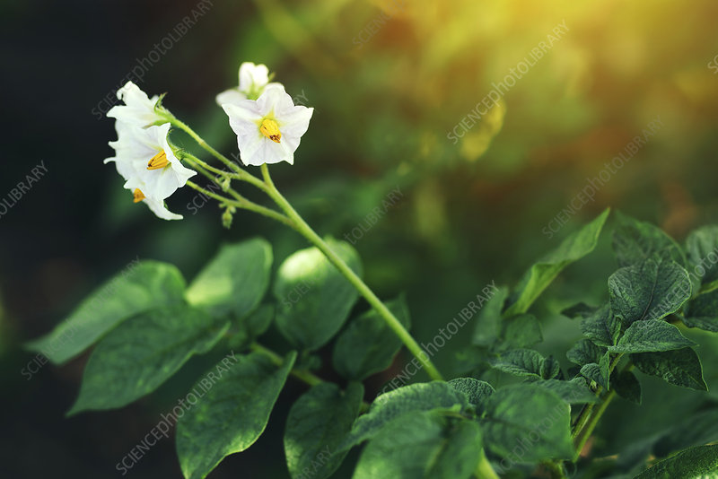 Blooming potato plant