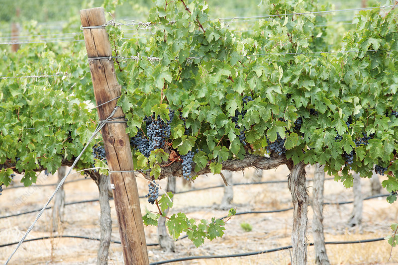 Grape vines in South Africa