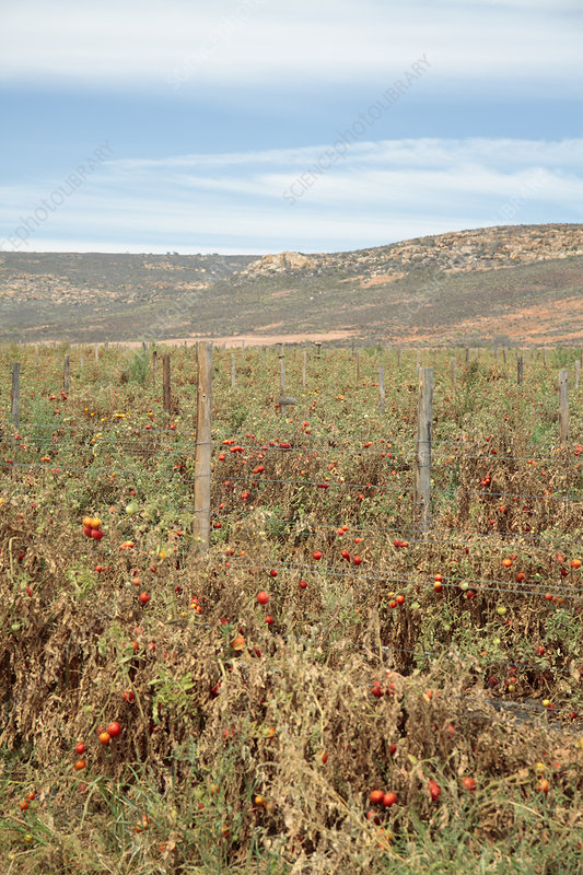 Tomato crop affected by drought