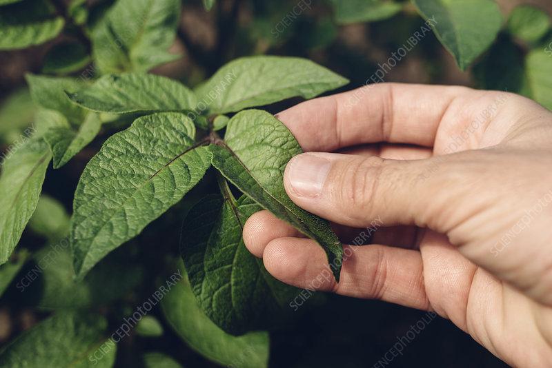 Farmer checking potato plants