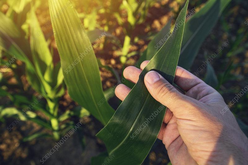 Farmer checking maize plants