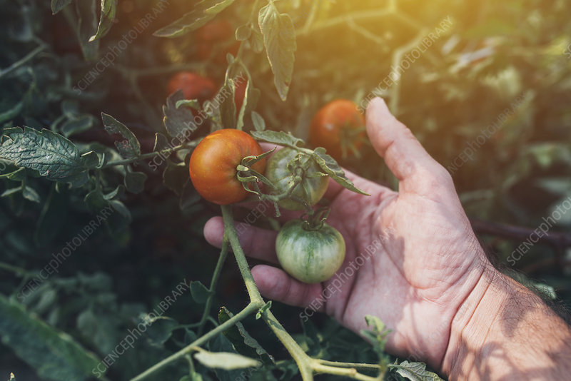 Farmer checking tomatoes
