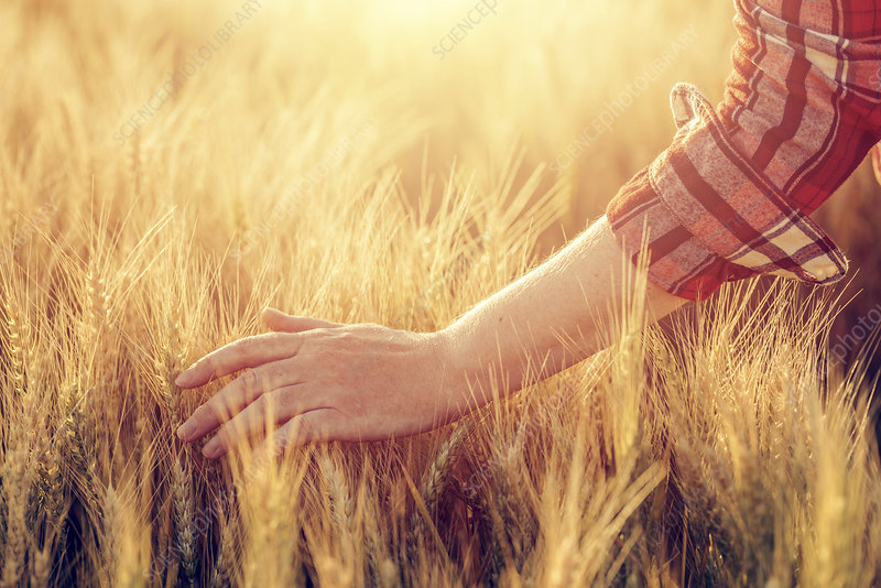 Farmer checking barley crop