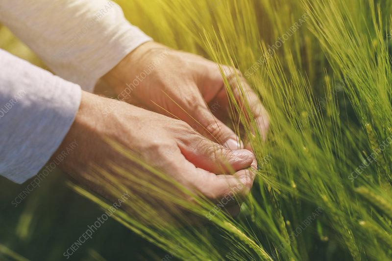 Farmer checking wheat crop