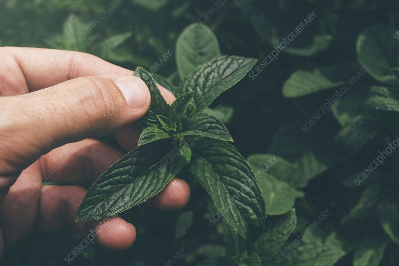 Farmer checking mint plants