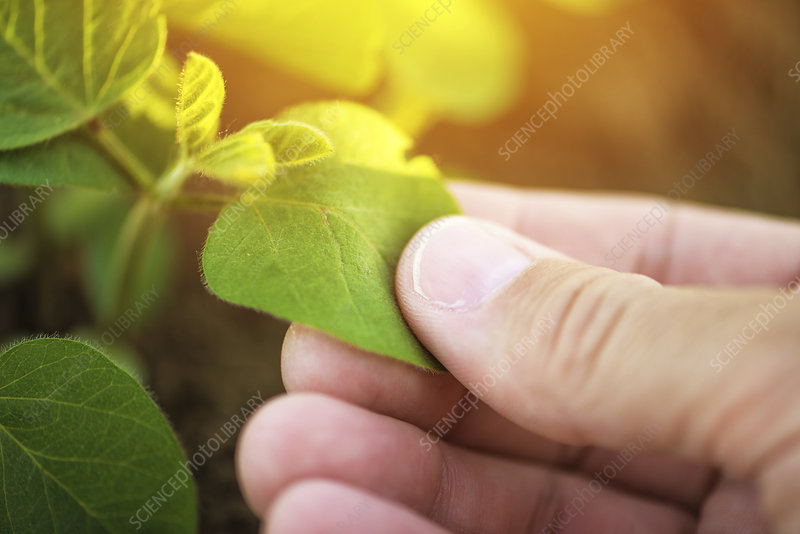 Farmer checking soybean crop