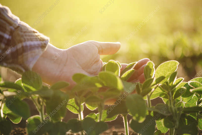 Farmer checking soybean crop