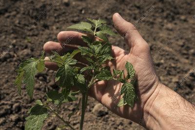Farmer checking tomato plant
