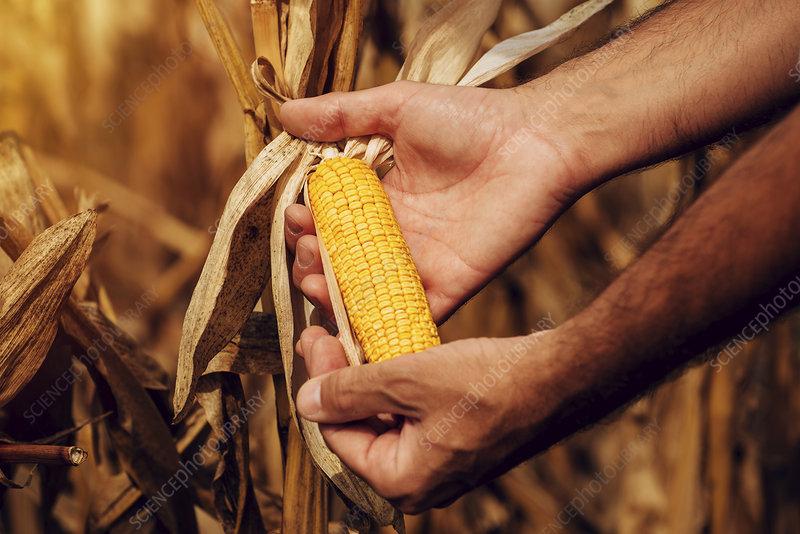 Farmer checking corn crop