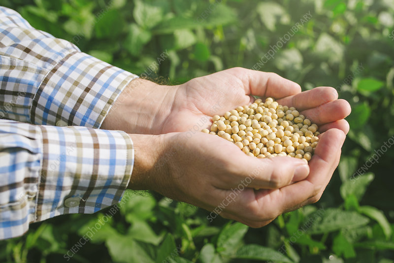 Farmer with handful of soybeans