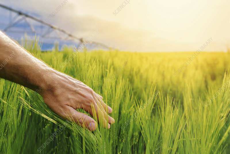 Farmer checking wheat crop