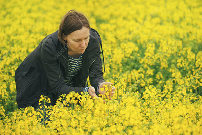 Farmer examining oil seed rape crop
