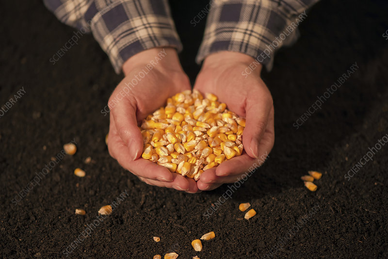 Handful of harvested corn
