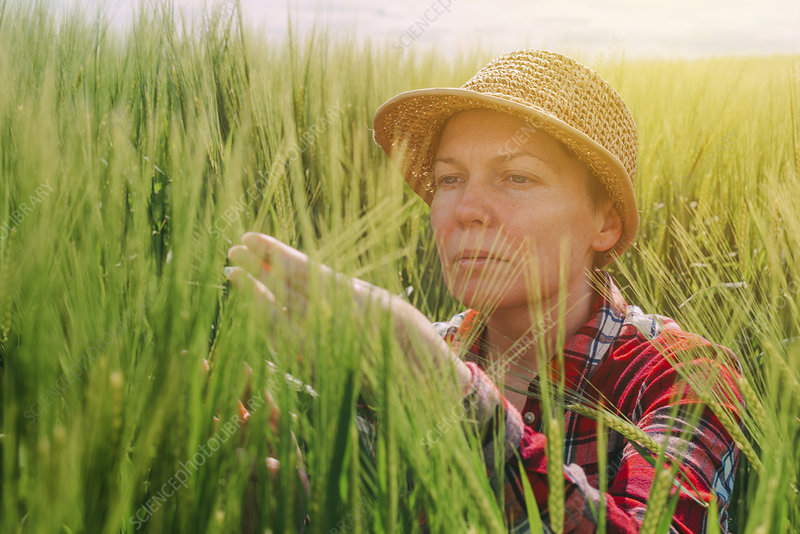 Farmer examining wheat crop