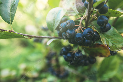 Ripe aronia berries on branch