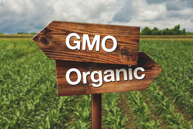 GMO corn, conceptual image