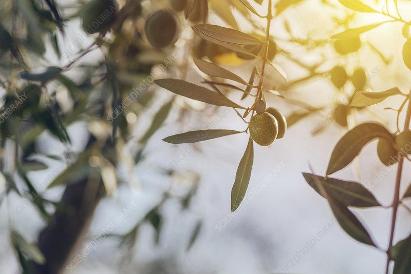 Ripe olives on tree