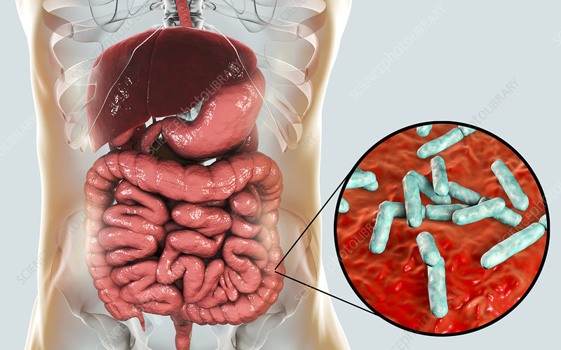 Bifidobacterium bacteria in human intestine, illustration