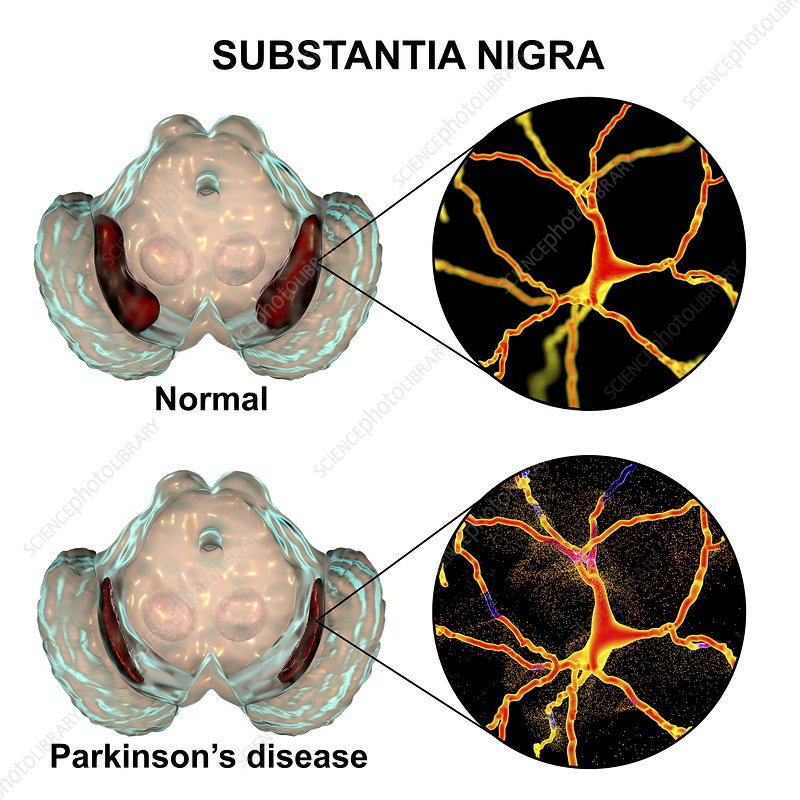 Substantia nigra and dopaminergic neurons, illustration
