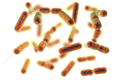 Bacteroides sp. bacteria, illustration