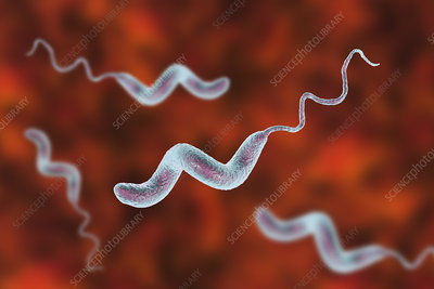 Campylobacter bacterium, illustration