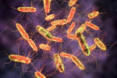 Salmonella bacteria, illustration