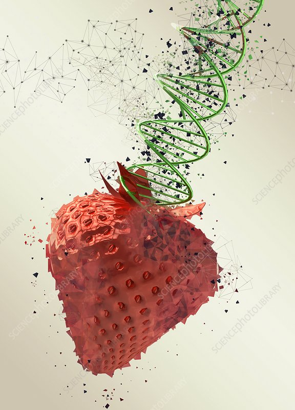 Genetically modified strawberry, illustration