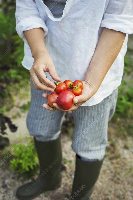 Person, Wellington boots, outdoors, freshly picked tomatoes