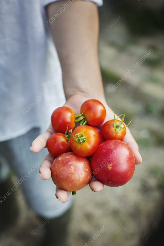Close up of person holding freshly picked tomatoes