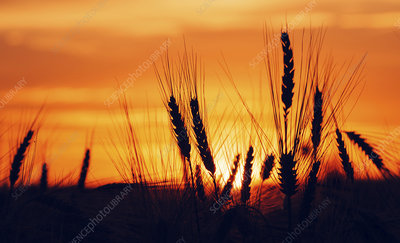 cereal crop silhouetted at sunset