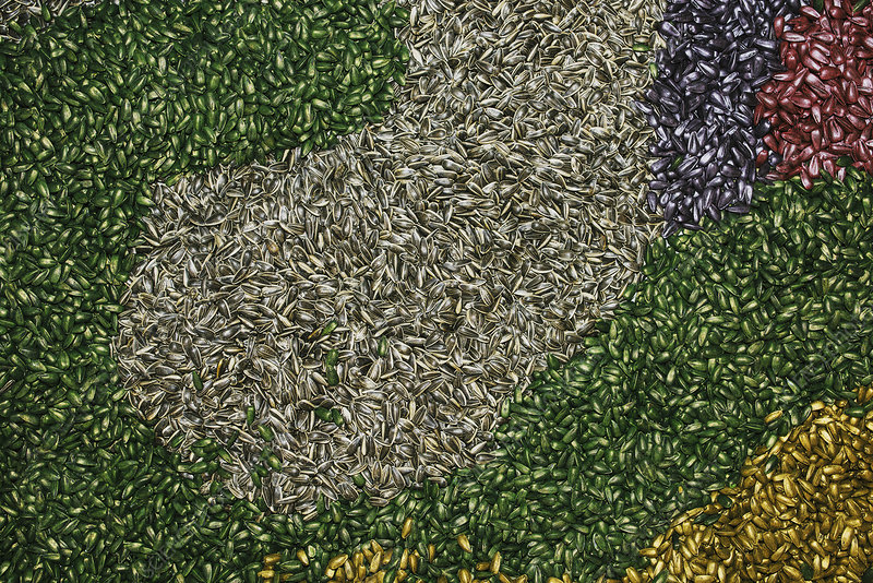 Colourful sunflower seeds