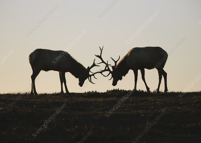Silhouette of two Tule elk