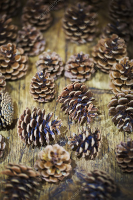 Dried pine cones of different shapes and sizes