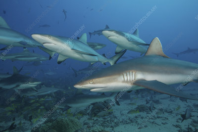 Grey reef sharks in South Pacific