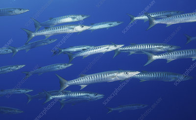 School of Blackfin barracuda, French Polynesia