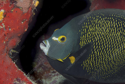 Close-up of French Angelfish, Pomacanthus paru