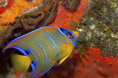 Queen angelfish on the seabed