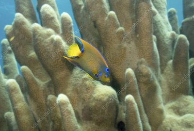 Queen angelfish swimming through Pillar coral