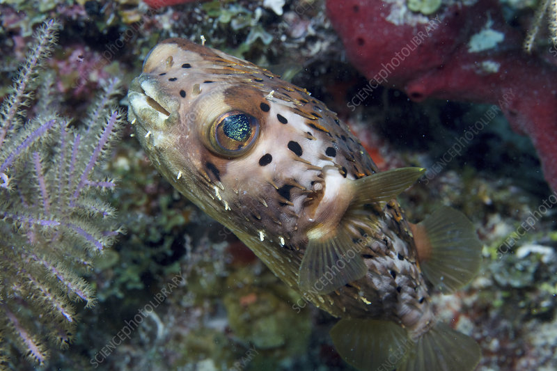 Opaline eyes of a Longspined porcupine fish