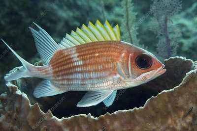 Squirrelfish and Barrel sponge