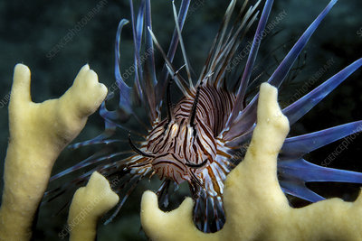 The invasive species, Lionfish (Pterois volitans)