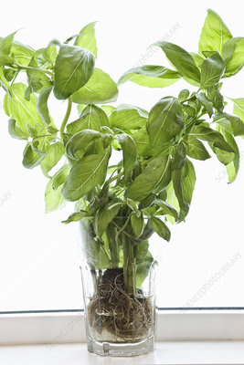 Basil plant with roots and soil in a glass