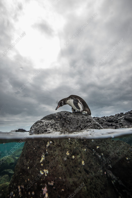 Galapagos Penguin resting on rocks, Galapagos