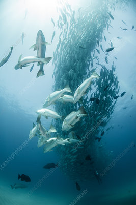 School of jack fish, underwater view, Mexico
